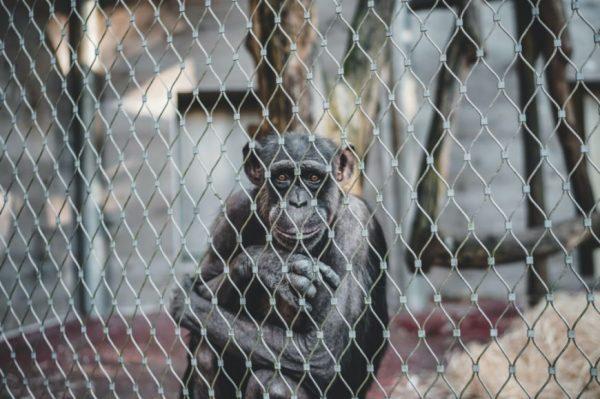 Chimpance en jaula