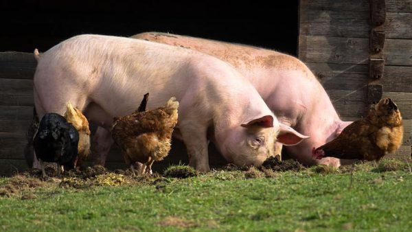 gallinas y cerdos
