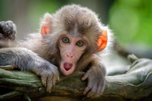 mono boca abierta