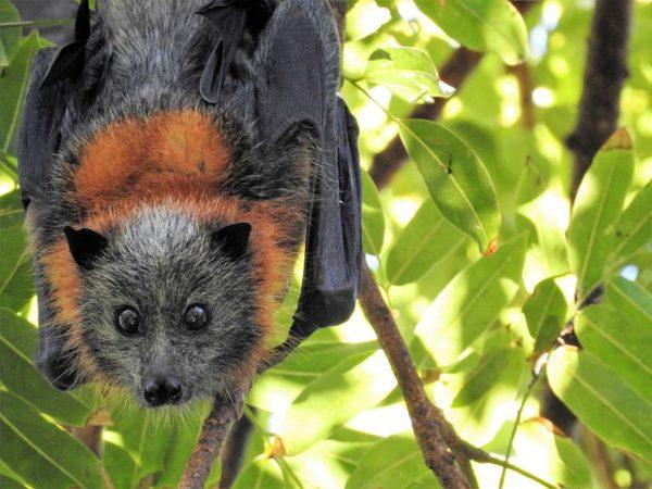 murciélago origen pandemia ébola