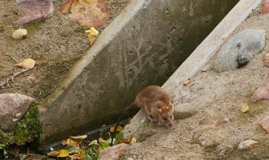 ratas en las ciudades