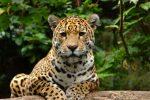 El papel del jaguar en la conservación de ecosistemas saludables.