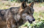 La caza del Lobo Ibérico queda prohibida en toda España.