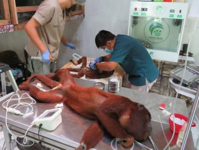 Amazon Shelter: Transfusión de sangre entre monos aulladores